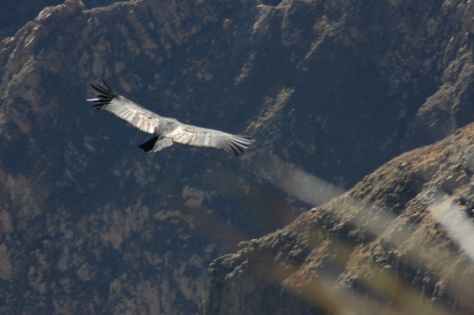 Condor with light streaming off its back