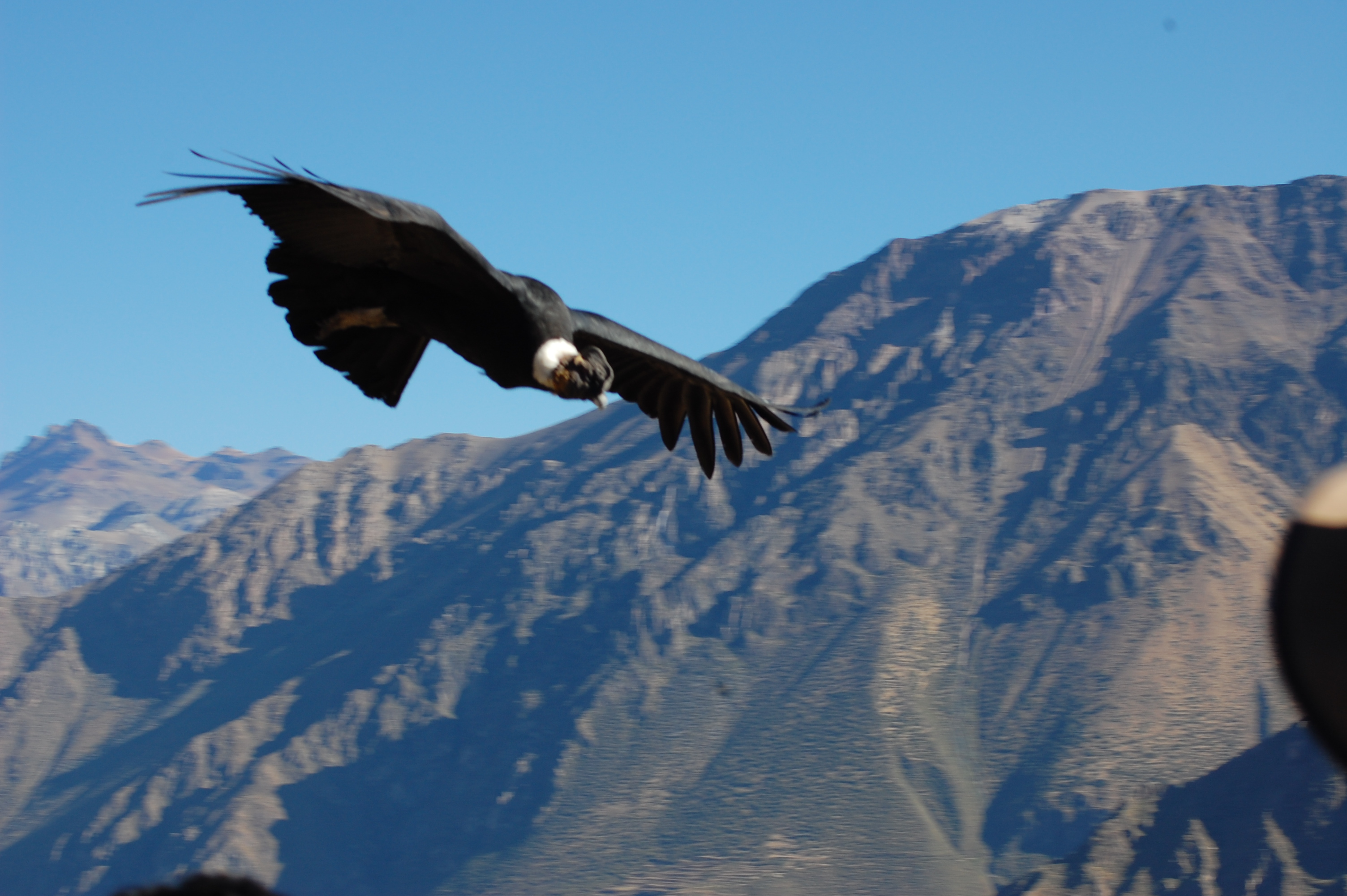 Great shot of condor with white neck and knobby head