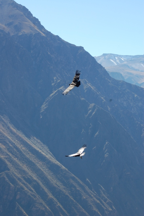 Two Condors enjoying the air and wide expanse