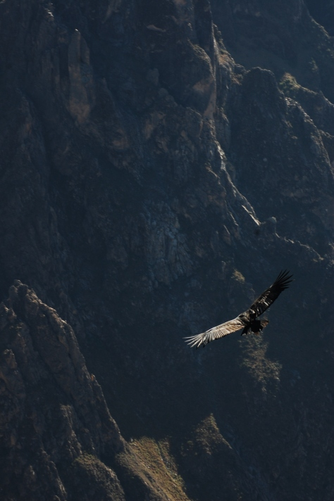Condor soaring free