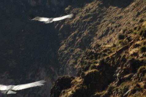 Andean Condors above Colca
