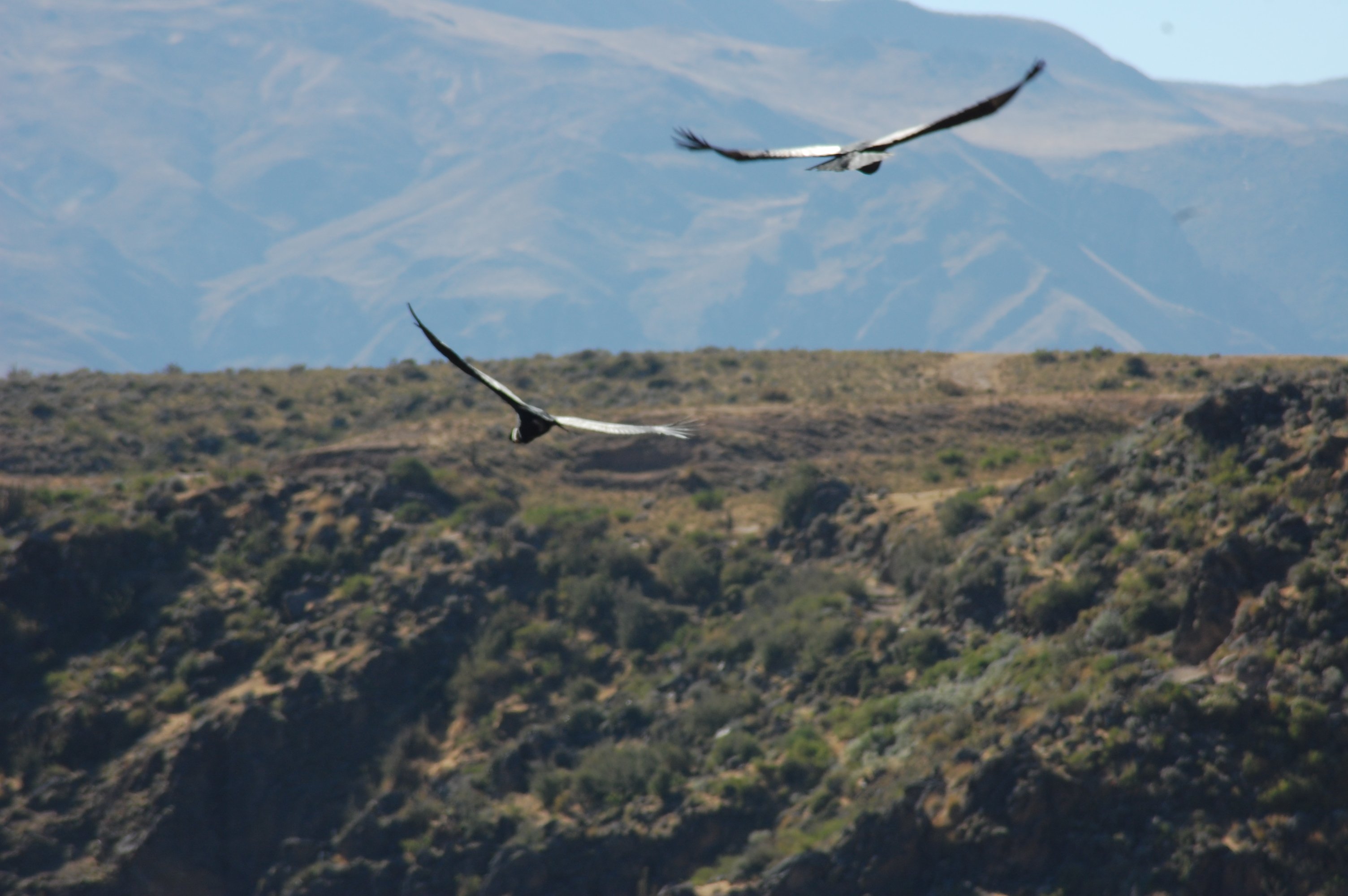 Two Andean Condors with Plateau in back