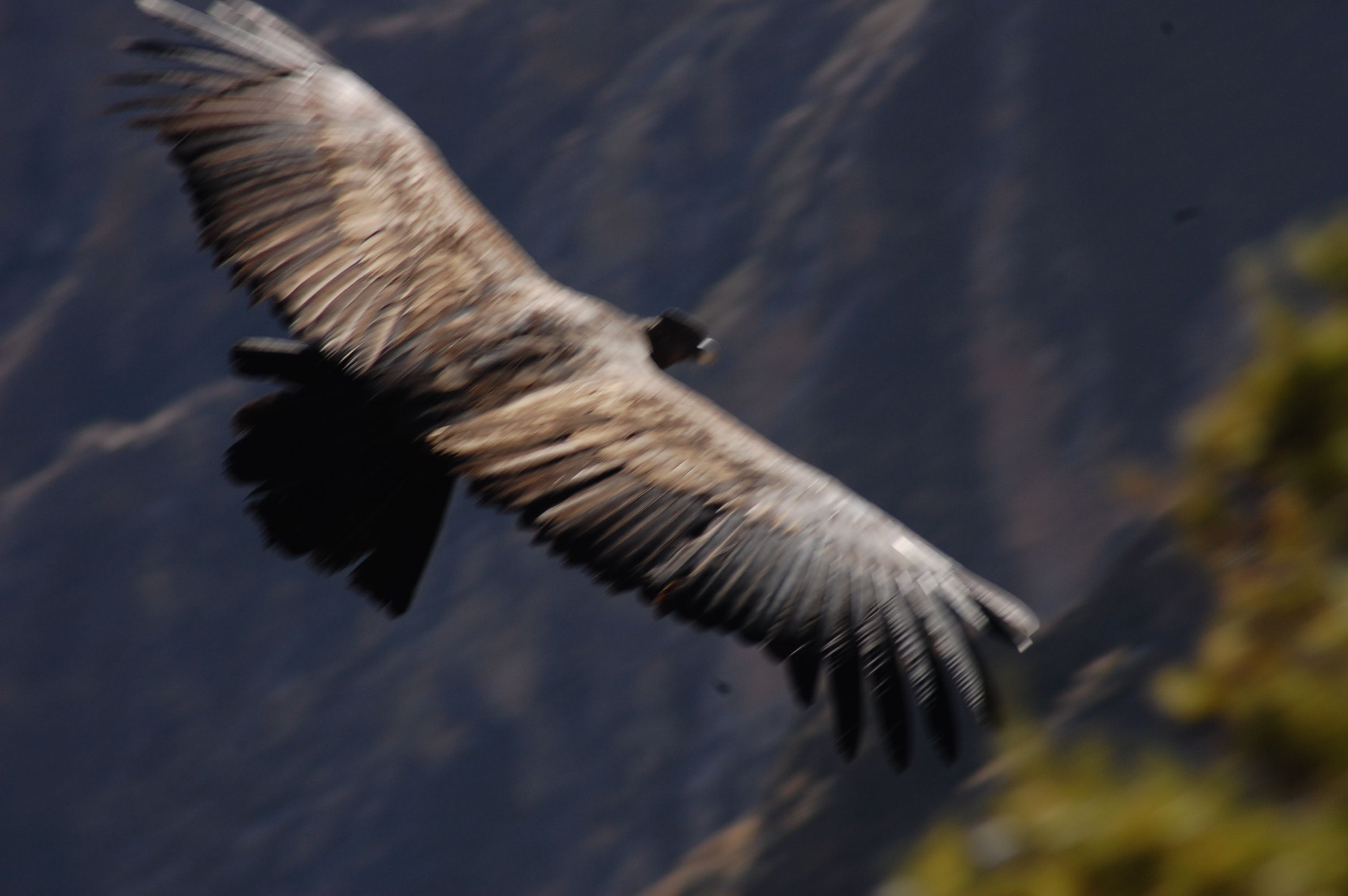 Condor in flight, up close, and from above, with full black/brown plummage